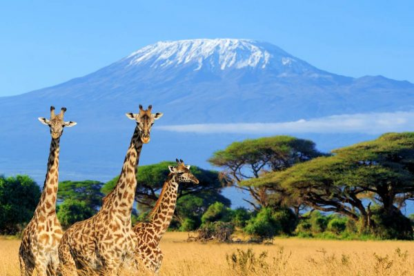 shu-Kenya-National-park-in-Kenya-three-giraffe-Kilimanjaro-background-662889487-1440x823